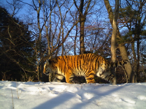 Amur tiger camera trap