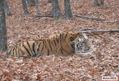 Disease as a new threat to Amur Tigers