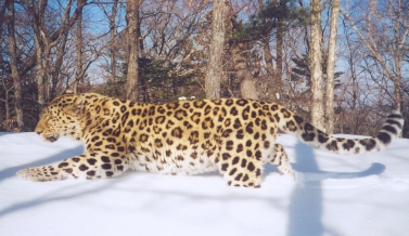 camera-trap photo of a Far Eastern leopard, WCS Russia