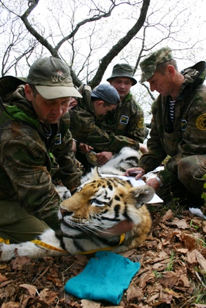Siberian Tiger Project