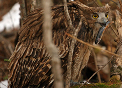 Fish Owl with Prey