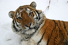 tiger-in-the-snow