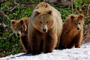 A mother bear with 2 cubs on Kamchatka. Photo by Igor Shpilenok.