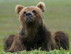 Kamchatka brown bear cub. Photo by Ivan Seryodkin, WCS.