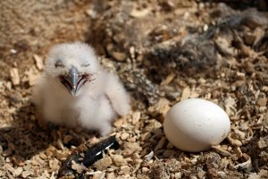 A fish owl chick and egg. Photo by Jon Slaght.